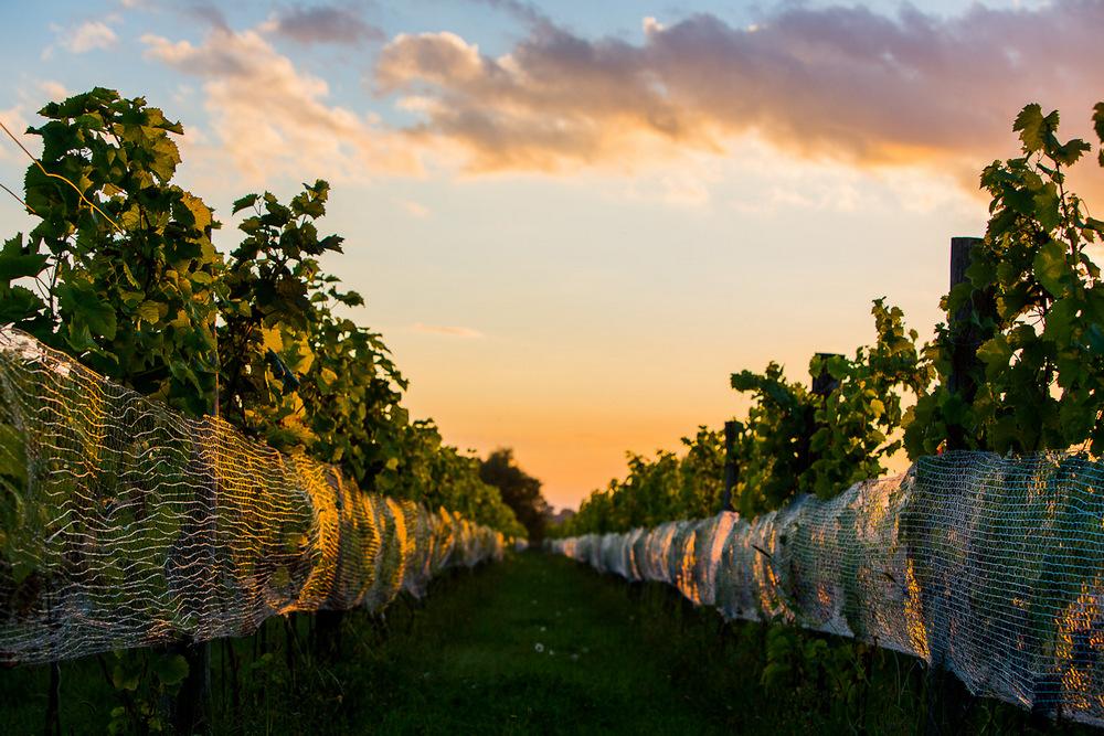Lubuskie winnice o zachodzie słońca